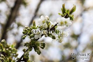 Kirschblüten | Projekt 365 | Tag 98
