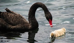 animal(1.0), black swan(1.0), water bird(1.0), swan(1.0), wing(1.0), water(1.0), fauna(1.0), reflection(1.0), beak(1.0), bird(1.0), wildlife(1.0),
