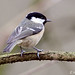 DSP01088 - Coal Tit  (Periparus ater) by fotodave22