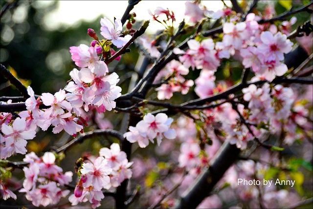 麗池櫻花37