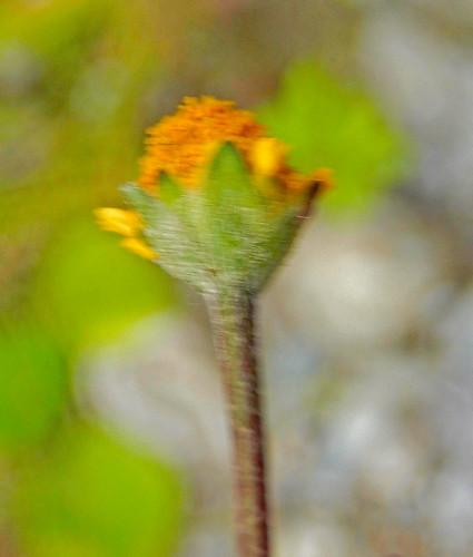 170302 2017 asteraceae asterales asterid asterids ecuador oldlojaroad flower wildflower