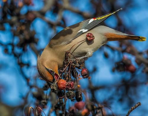 bohemianwaxwing waxwing bombycillagarrulus bombycilla bombycillidae nigelje okanagan bird animal