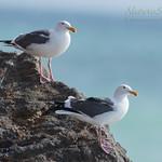 Western Sea Gulls