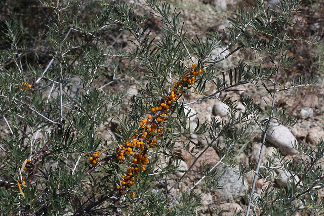 Hippophae rhamnoides (Elaeagnaceae)