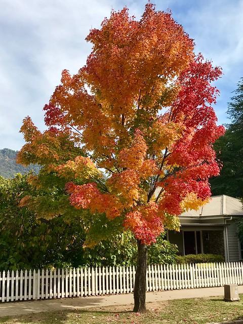 Acer rubrum - Red Maple, Bright, Victoria