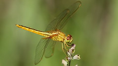Scarlet Skimmer (immature male) - Weekiwachee Preserve