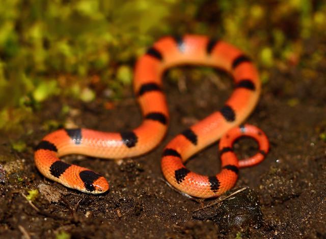 Variable Ground Snake (Sonora semiannulata semiannulata)