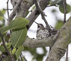 _J3A4946 7D Mark ll Tamron 150-600mm f5-6.3 Di VC USD G2 Bolsa Chica wetlands Anna's Hummingbird