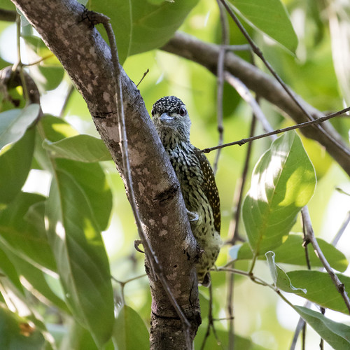 goldentailedwoodpecker campetheraabingoni krugerpark mpumalanga southafrica