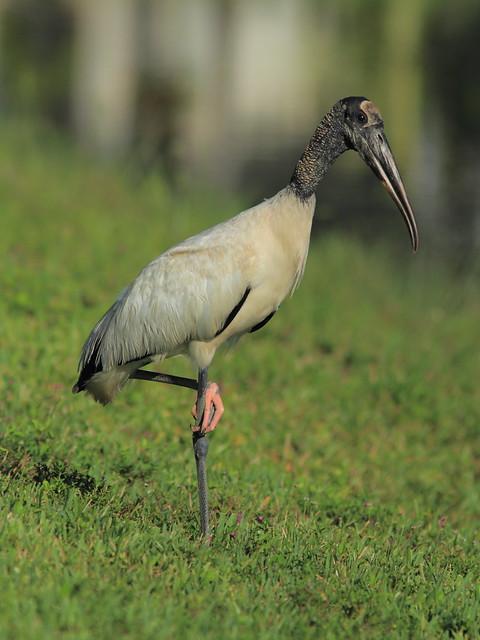 Wood Stork 20130602