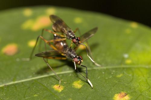 IMG_6189 Micropezidae