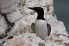 Guillemot bridal type Bempton 13.6.2013 (1)