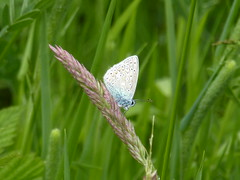 Greenwich Ecology Park -common blue butterfly