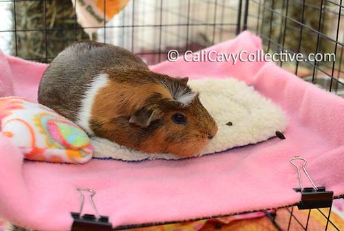 Guinea pig Truffle in C&C bunk bed