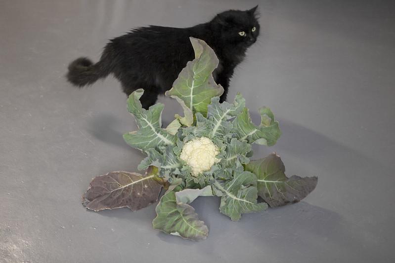 Cauliflower HarvestIMG_2985