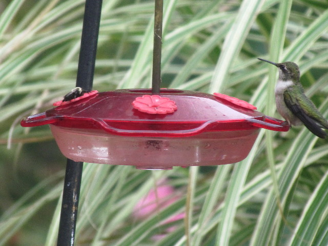 Hummingbird and bee 9:12:11
