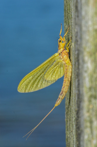 <p><i>Hexagenia</i> sp., Ephemeridae<br /> Grant Narrows, Pitt Meadows, British Columbia, Canada<br /> Nikon D5100, 105 mm f/2.8<br /> June 30, 2013</p>