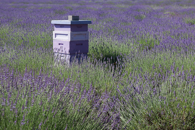 Lavender Fields and Bee Boxes