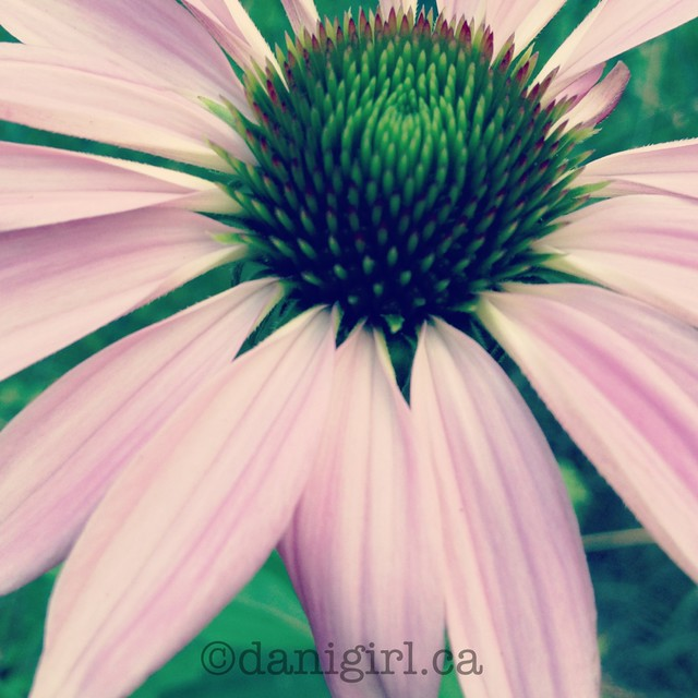 I heart coneflowers!