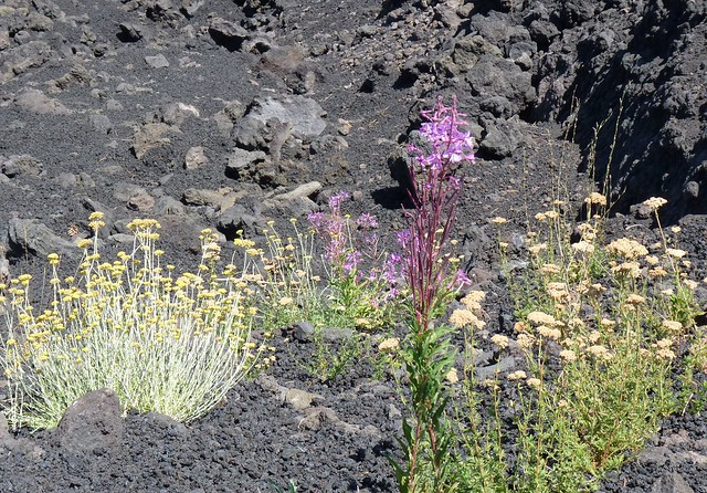 Etna - Wild flowers in the lava