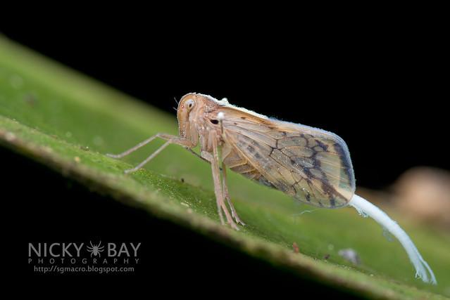 Planthopper (Fulgoromorpha) - DSC_3267