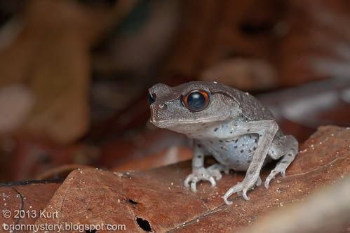 IMG_0090 (2) copy Spotted Litter Frog (Leptobrachium hendricksoni