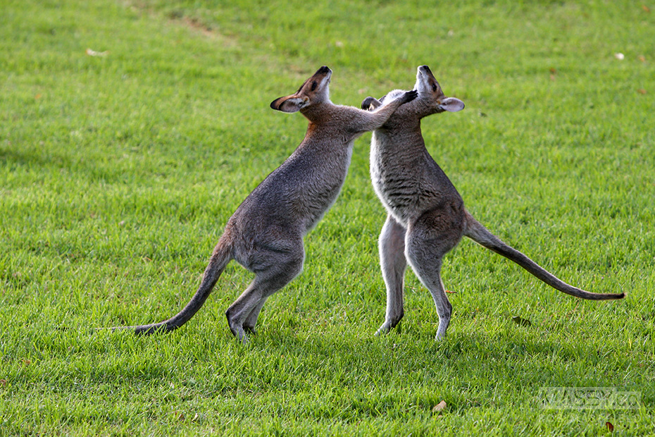 A late afternoon scrap between a couple of spritely wallabies.