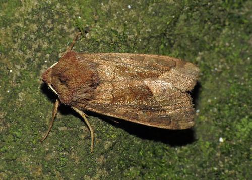2361 Rosy Rustic Hydraecia micacea