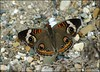 Common Buckeye (Junonia coenia)... by pieceoflace photography