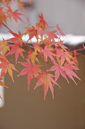 【写真】2013 紅葉 : 光悦寺/2013-12-02/IMGP4429