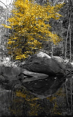 Color of Fall - B&W 1: Golden leaves and its reflection
