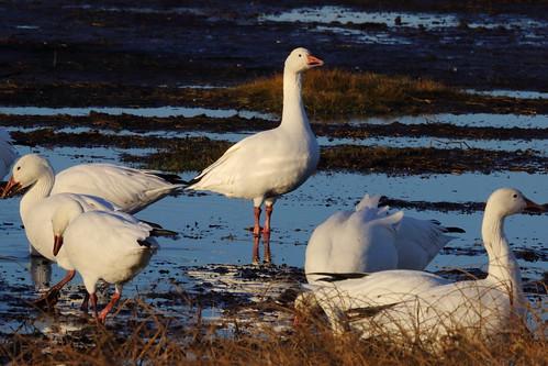 bird sunrise canon flock northcarolina outerbanks snowgoose 5dmarkiii peaislandnationalseashore