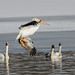 Pelican and Swans_42431.jpg