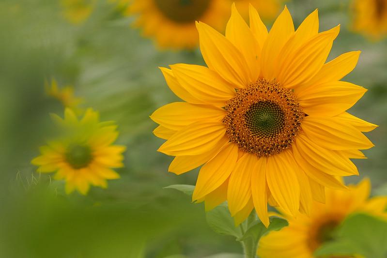 太陽花|Chiayi