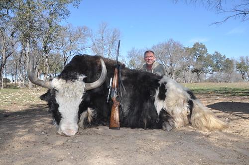 Yak Bull