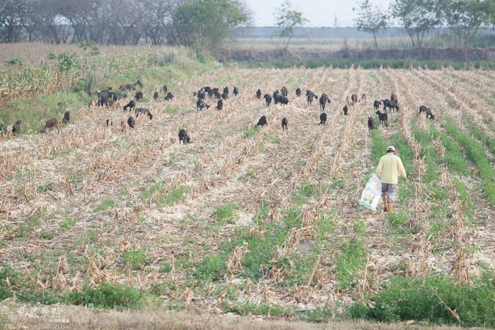 台南私藏景點--學甲寮平和里 X 蜀葵、小麥、羊群、老厝群 (16)