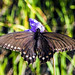 Pipevine Swallowtail Battus philenor by larry&flo