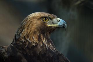 イヌワシ 의 이미지. bird zoo tokyo eagle tama 日本 東京 goldeneagle 動物園 鳥 鳥類 東京都 多摩動物公園 tamazoo ワシ 多摩 nikond4 日野市 イヌワシ kenkomirrorlens800mmf8dx