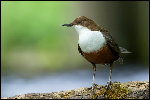Cincle plongeur / White-throated Dipper