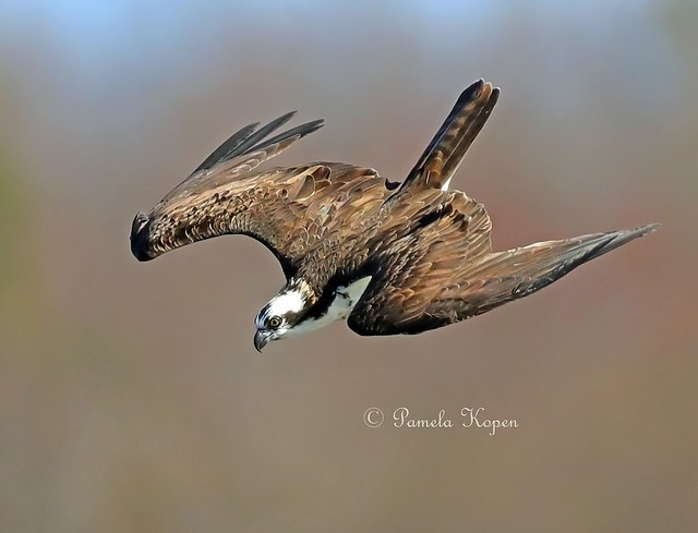 Osprey dive, Canon EOS-1D X MARK II, Canon EF 800mm f/5.6L IS