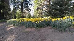 Daffodils [1 of 2] - Twin Peaks, California U.S.A.