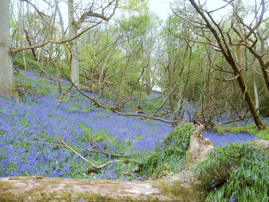bluebells Hever to Ashurst