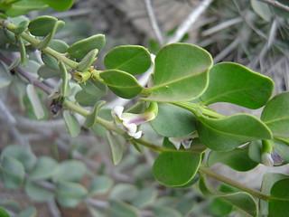 Monttea chilensis var taltalensis Reiche 5