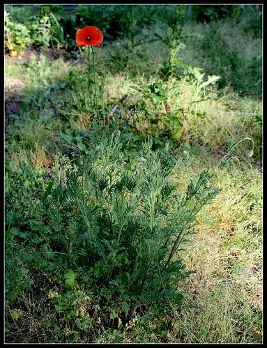 Papaver dubium subsp. dubium - pavot douteux 34039349112_595903ac28
