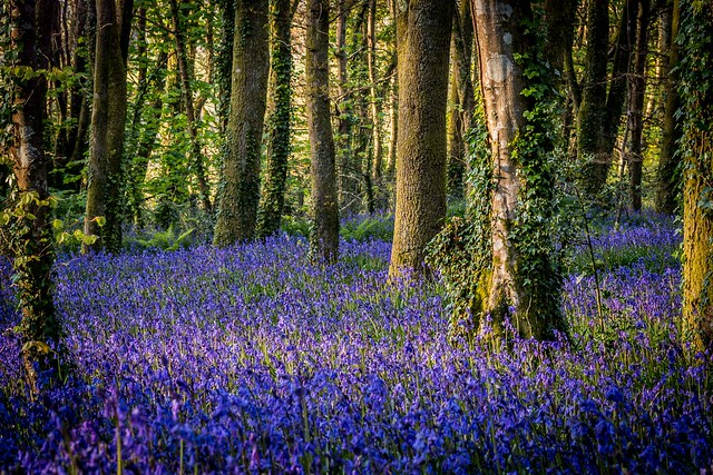 Pendarves Wood Bluebells (explored 22/04/17), Canon EOS 70D, Canon EF 100mm f/2.8 Macro