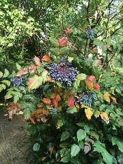 Colorful berries, Kalorama Circle NW, Washington, D.C.