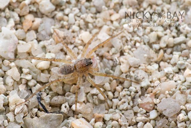 Wolf Spider (Lycosidae) - DSC_6313