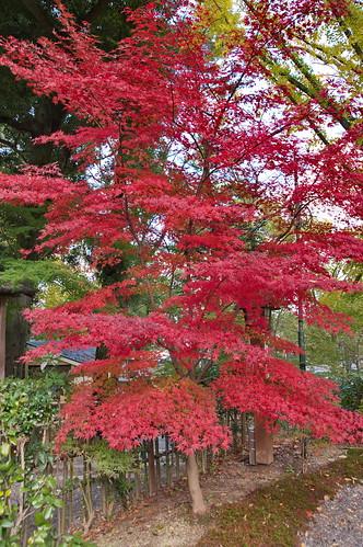 【写真】2012 紅葉 : 長岡天満宮/2020-10-09/IMGP6545