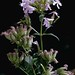 Soapwort or Bouncing Bet