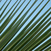 Small photo of Palm blades against California sky